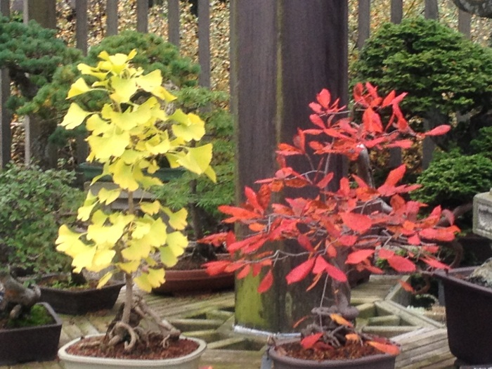Gingko and Tupelo or Black Gum Started 1875, photo (77) 700p